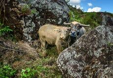 Two buffalo on the rice field  in Tana Toraja. Two buffalo rice field in Tana Toraja in Tana Toraja. Sulawesi. Indonesia Stock Photography