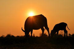 Two buffalo silhouette with sunlight background. Stock Photo