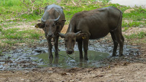 Two buffalo stand in the mud. Royalty Free Stock Images
