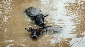 Two buffalo in water stock image