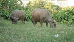Two buffalo were eating grass stock footage