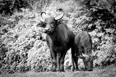 Two buffaloes grazing in the Kathmandu Valley, Nepal. Black and white image.  royalty free stock photography