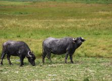 Wo buffaloes grazing in pastures royalty free stock image