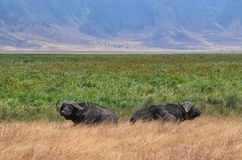 Two Buffaloes in relax Royalty Free Stock Image
