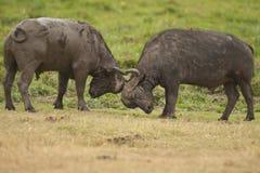 Two Buffalos Fighting Stock Photos