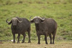 Two Buffalos in the Savannah. Of Amboseli National Park of Kenya royalty free stock photos