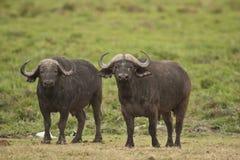 Two Buffalos in the Savannah Royalty Free Stock Photos