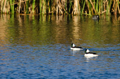 Two Bufflehead Ducks Swimming in the Autumn Pond Royalty Free Stock Photography