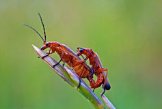 Two bugs Royalty Free Stock Photo