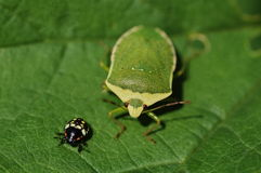 Two bugs Stock Image