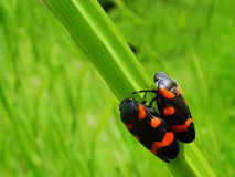 Free Two Bugs Stock Photography - 5053382