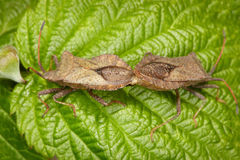 Two bugs copulating on leaf Royalty Free Stock Images