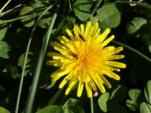 Two bugs a dandilion. Two bugs on a large yellow dandilion Royalty Free Stock Images