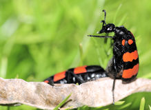 Two bugs mating stock photography