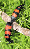 Two bugs mating Stock Photo
