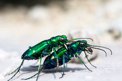 Two bugs mating. Six-Spotted Tiger Beetle (Cicindela sexguttata Stock Photography