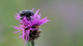 Two bugs meetings on flower (Tropinota hirta) stock video