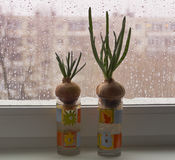 Two bulbs germinating in cups on the windowsill Royalty Free Stock Image