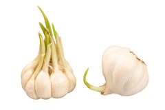 Two bulbs of sprouting garlic. Isolated on white background Stock Photo
