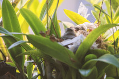 Two bulbul chicks in nest Royalty Free Stock Photo