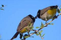 Two bulbuls Stock Photos