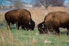 Two bull bison grazing on grassy plains Stock Photos