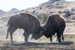 Two bull buffalo fighting Stock Image