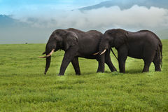 Two bull elephants grazing in the Ngorongoro Crater of Tanzania Royalty Free Stock Photography