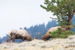 Two bull elk battling on skyline Royalty Free Stock Photography