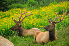 Two Bull Elk in a Field. Two bull elk in velvet antlers laying in a green field with yellow flowers Royalty Free Stock Photo