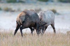 Two bull elk fighting Royalty Free Stock Image