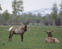 Two Bull Elk in Grand Teton National Park. Two male elk with velvet antlers in Grand Teton National Park and a magpie royalty free stock image