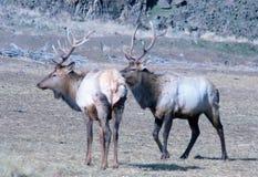 Two bull elk Stock Photo