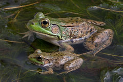 Free Two Bull Frogs Stock Photo - 15900330