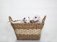 Two Bull Terrier puppies in a basket Royalty Free Stock Photography