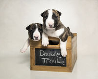 Two bull terrier puppies in a box Royalty Free Stock Photography