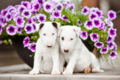 Two bull terrier puppies with flowers Stock Image