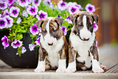 Two bull terrier puppies with flowers Stock Images