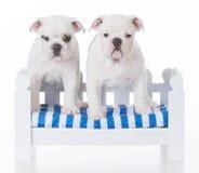 Two bulldog litter mates Stock Photography
