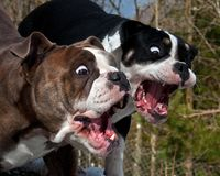 Two Bulldog with open mouth and a funny expression. Two Bulldog with open mouth and a fun and surprised expression stock photos