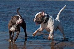 Two bulldog playing at the beach Stock Photography