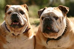 Two bulldogs Stock Photography