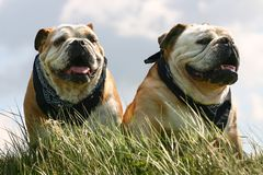 Two bulldogs Stock Images