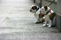 Two bulldogs Royalty Free Stock Photo
