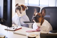 Two Bulldogs Dressed As Businessmen At Desk With Computer royalty free stock photo