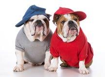 Two bulldogs Stock Photos