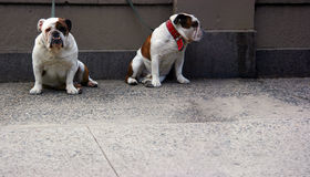 Two bulldogs front Royalty Free Stock Photography
