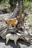 Two bulldogs posing on a tree stump. Two bulldogs out hiking and posing on a tree stump in the mountains stock images