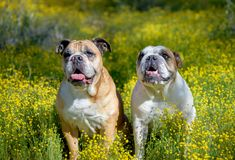 Two bulldogs posing together in the wildflowers. Two English bulldogs posing in the AZ desert super bloom of yellow wildflowers stock image