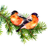 Two bullfinch birds on fir or pine tree branch. Watercolor Royalty Free Stock Photos